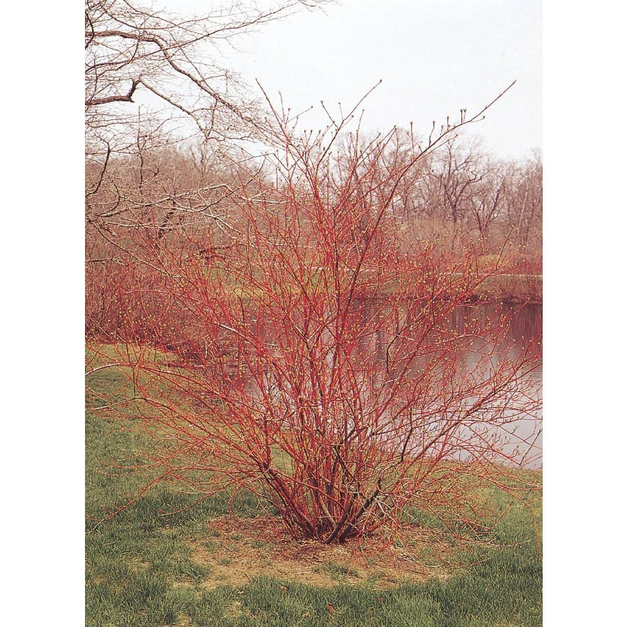 2-Quart White Red Twig Dogwood Accent Shrub (L5979)