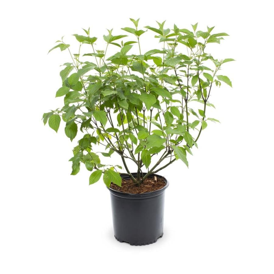 2.25-Gallon White Red Twig Dogwood Accent Shrub