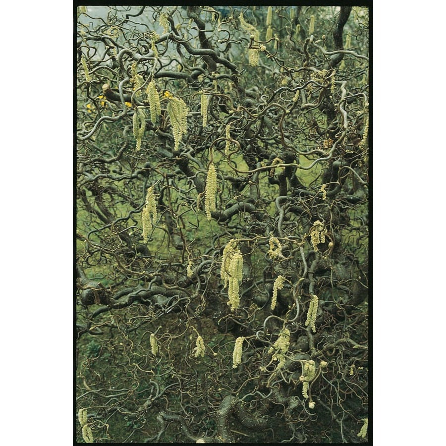 3-Quart Yellow Contorted Filbert Feature Shrub (L5174)