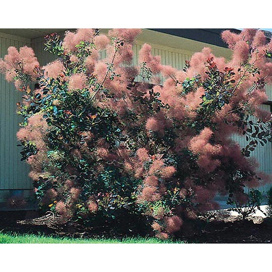 1.5-Gallon Pink Smoke Tree Feature Shrub (L4697)