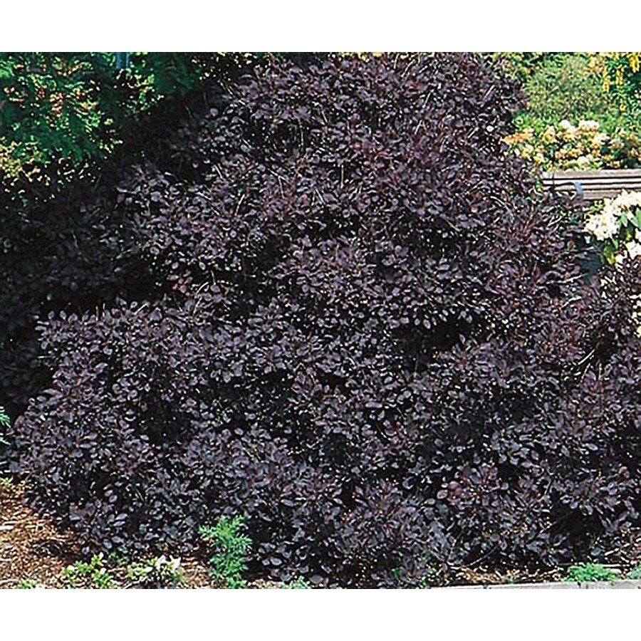 2-Quart Pink Royal Purple Smoketree Feature Shrub (L4698)