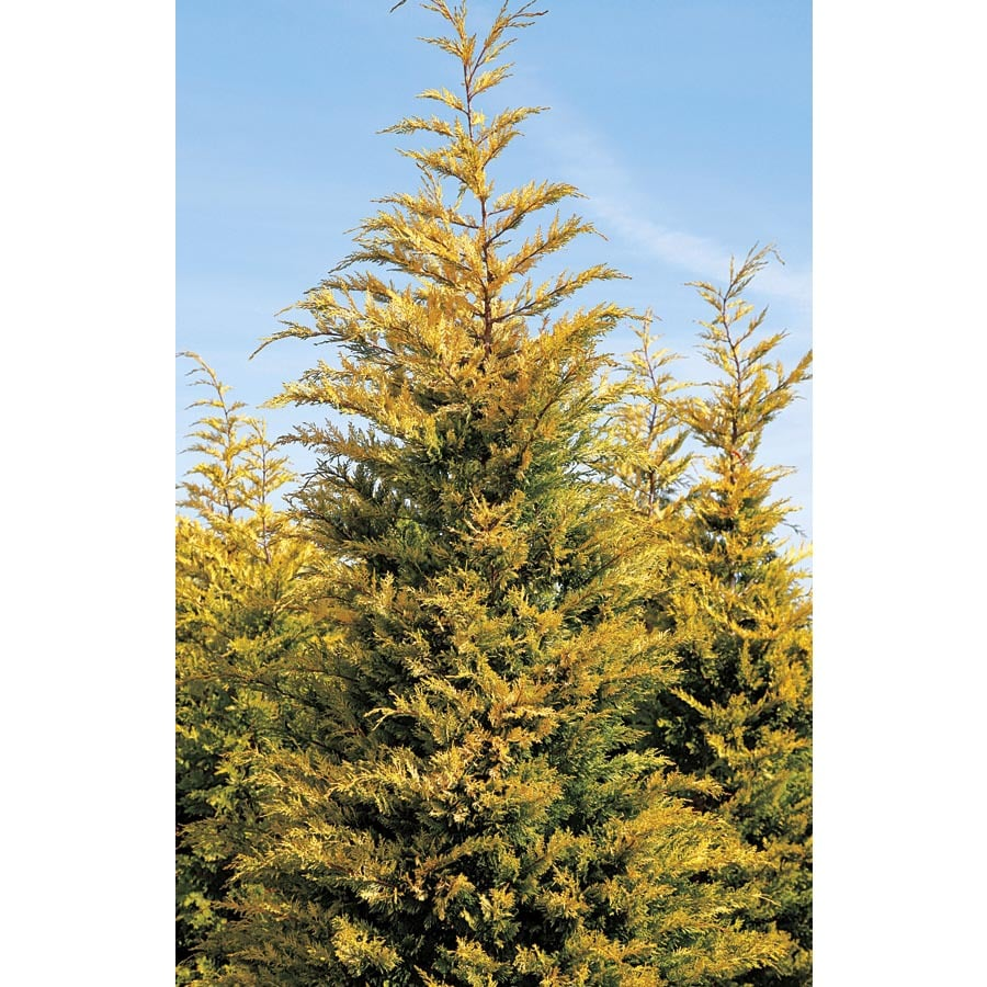 2 25 Gallon Gold Rider Leyland Cypress Screening Tree L23855