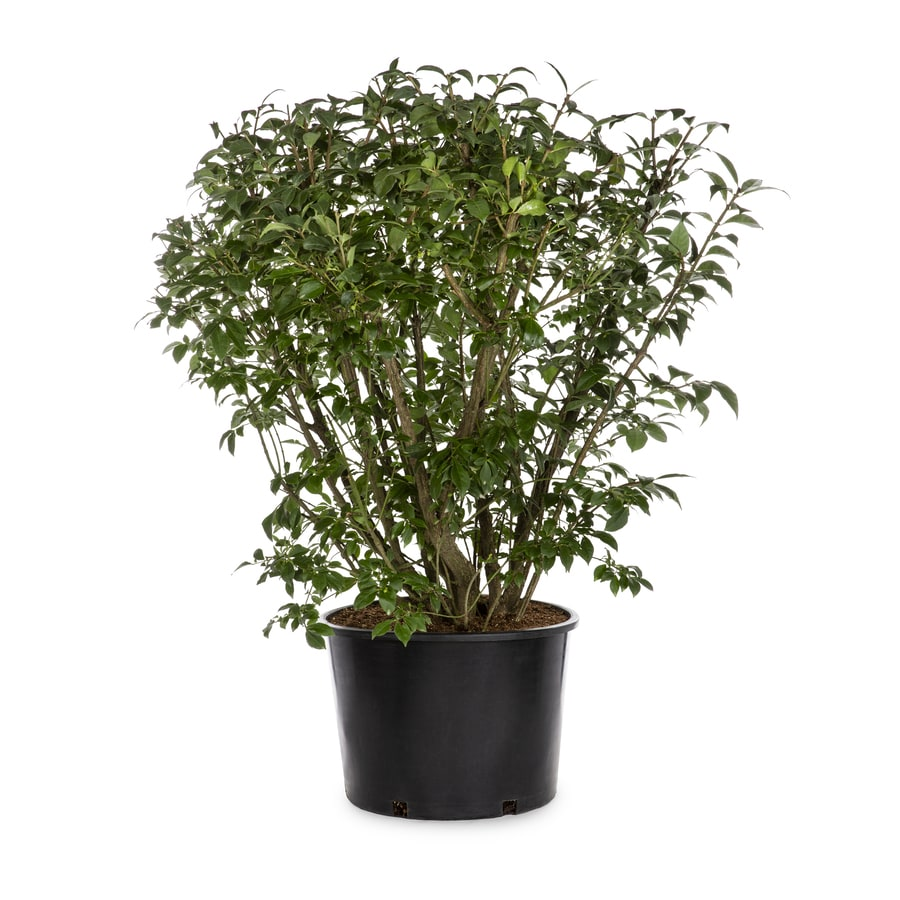 5-Gallon White Burning Bush Foundation/Hedge Shrub (L1008)