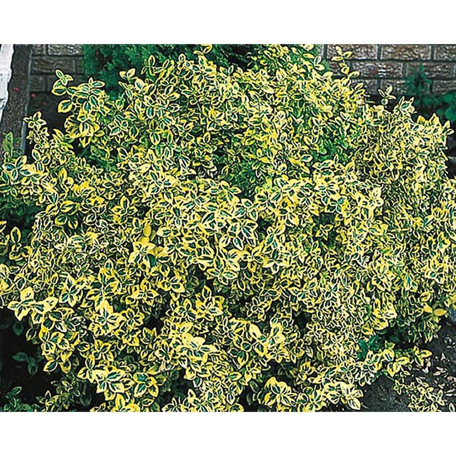 1.5-Gallon Emerald and Gold Euonymus Accent Shrub (L9280)