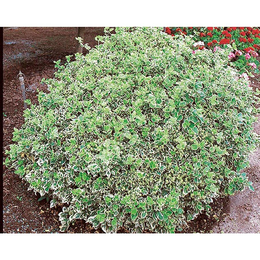 1-Gallon White Emerald Gaiety Euonymus Accent Shrub (L3487)
