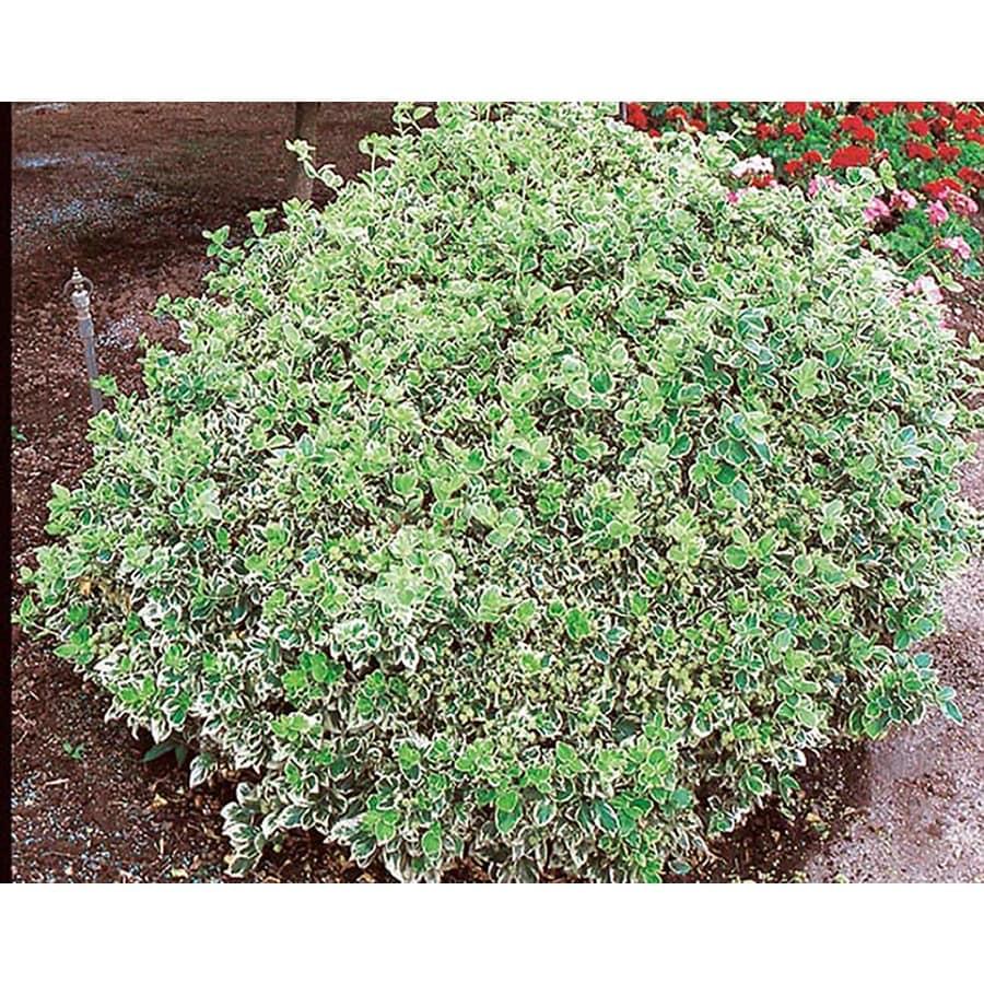 1.5-Gallon Emerald Gaiety Euonymus Accent Shrub (L3487)