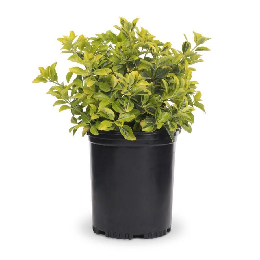 3 Gallon White Golden Euonymus Accent Shrub In Pot L3159
