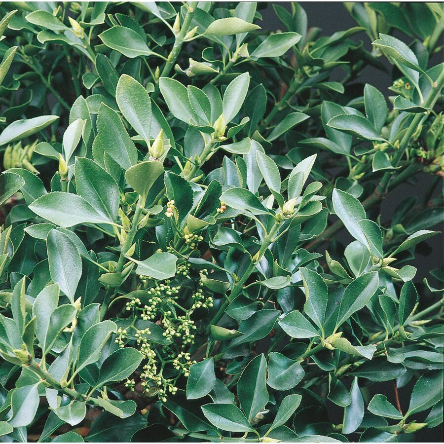 2-Quart White Japanese Euonymus Accent Shrub (L3157)