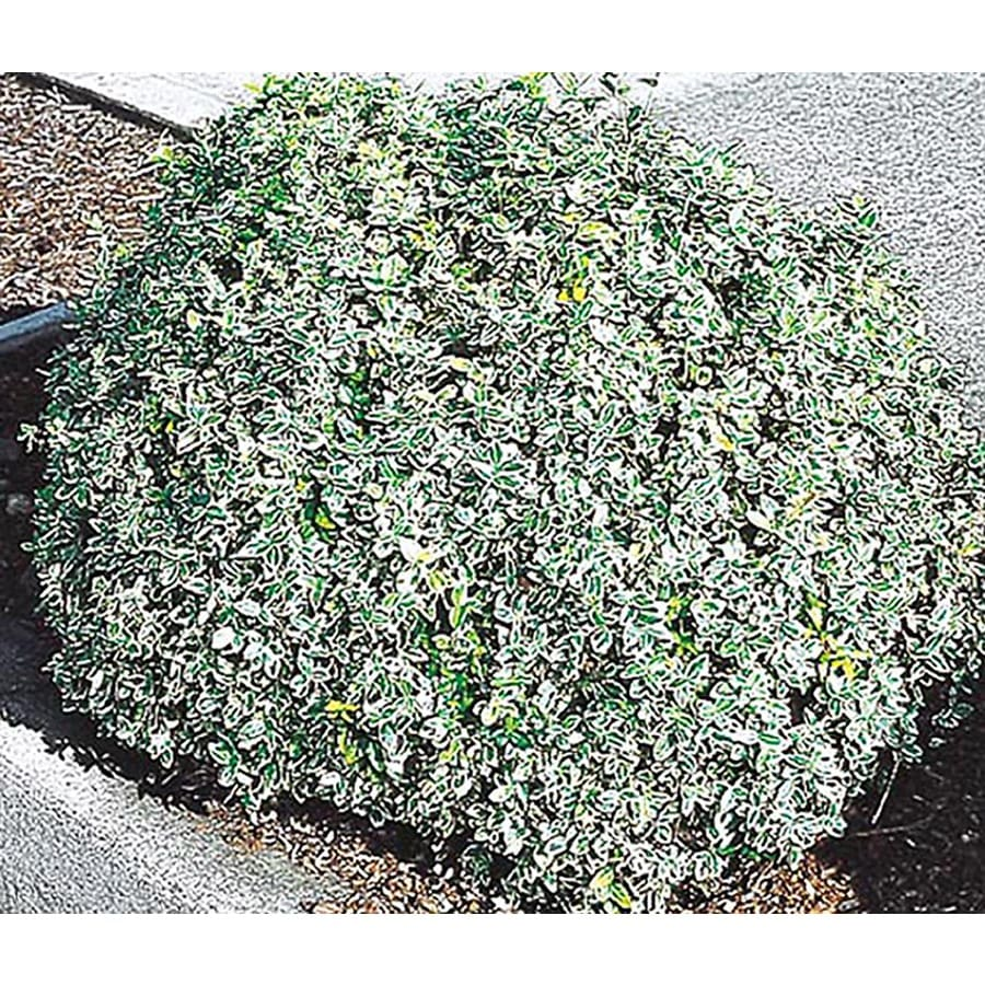2-Quart White Variegated Boxleaf Euonymus Accent Shrub (L4483)