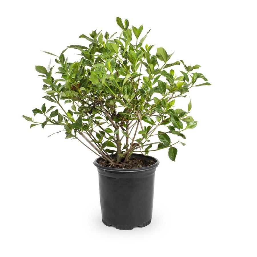 2.5-Quart White August Beauty Gardenia Flowering Shrub (L3497)