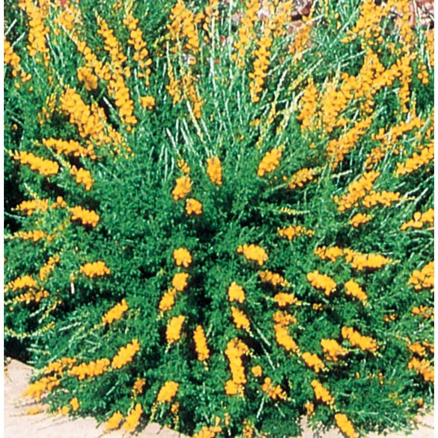 Shop 3 gallon yellow broom accent shrub l3907 at for Garden shrubs