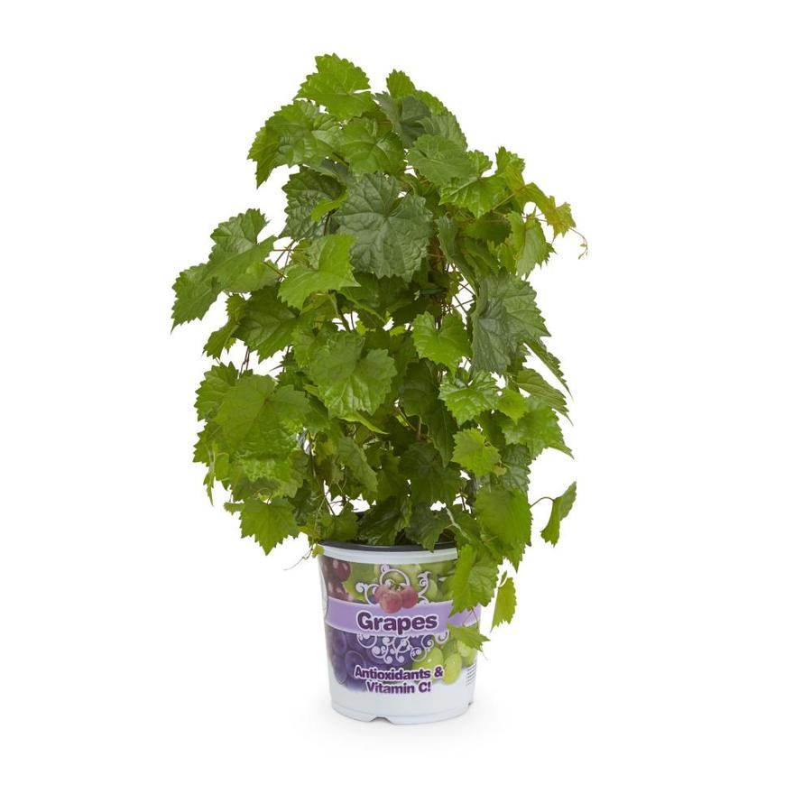 1-Gallon Grape Small Fruit (L6358)