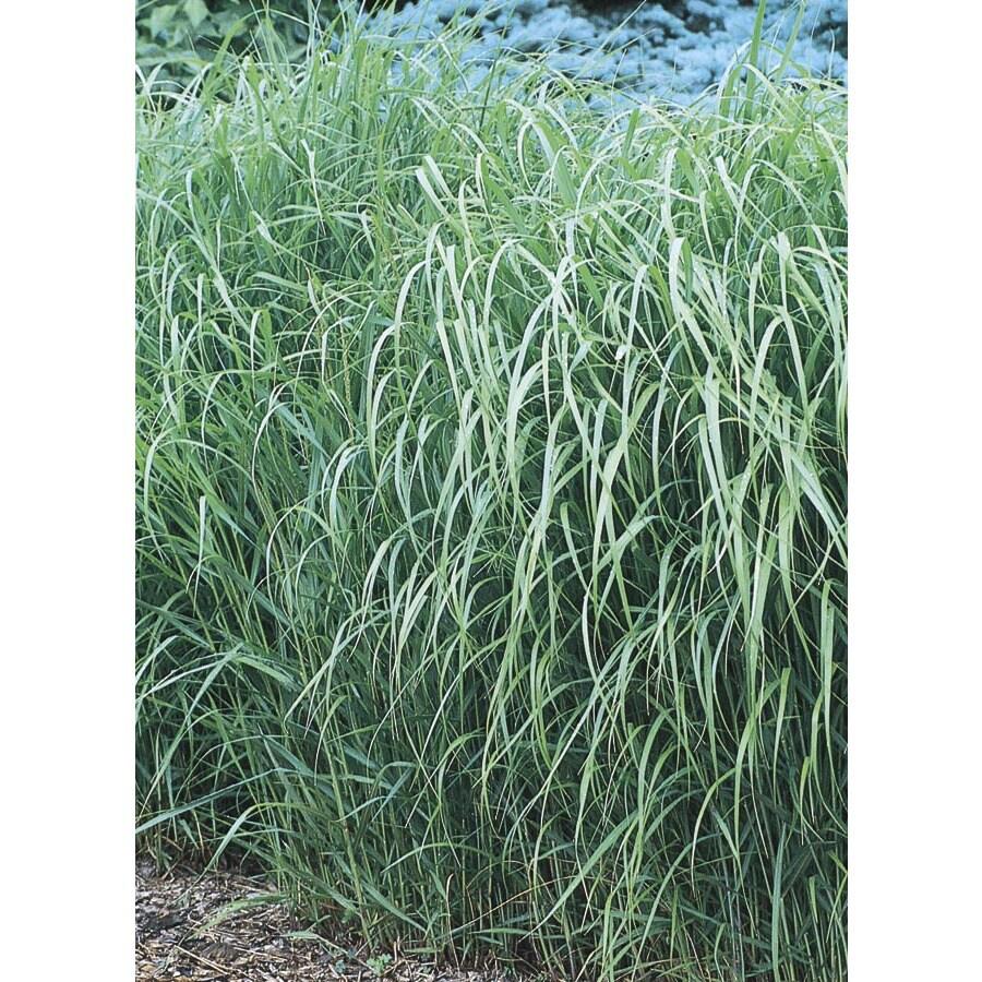 2.5-Quart Switch Grass (L8329)