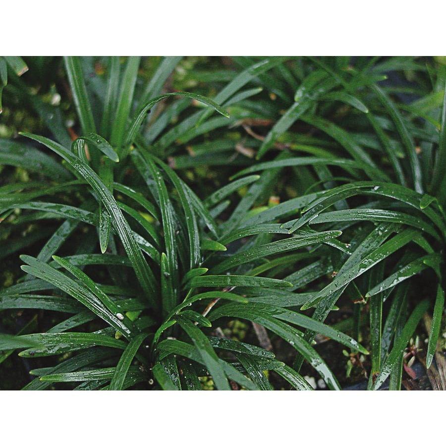 2-Quart Dwarf Mondo Grass Pot (L5449)