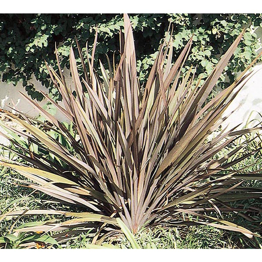 2.5-Quart New Zealand Flax (L11837)