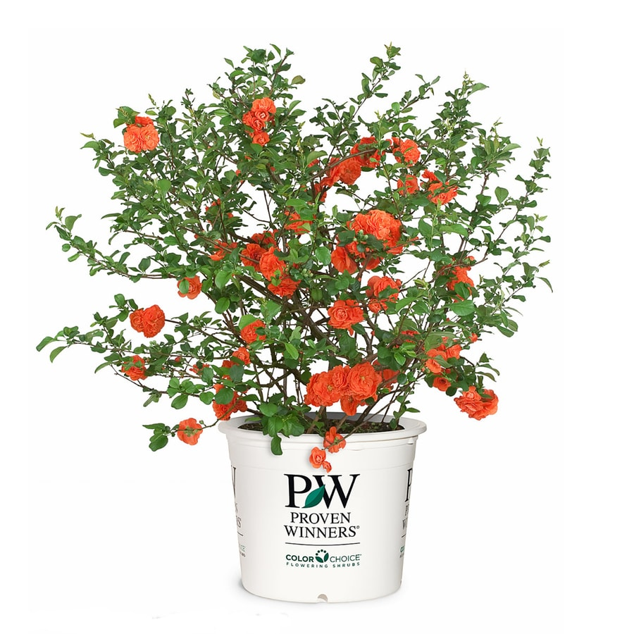 Proven Winner 1-Gallon Orange Quince Orange Storm Flowering Shrub