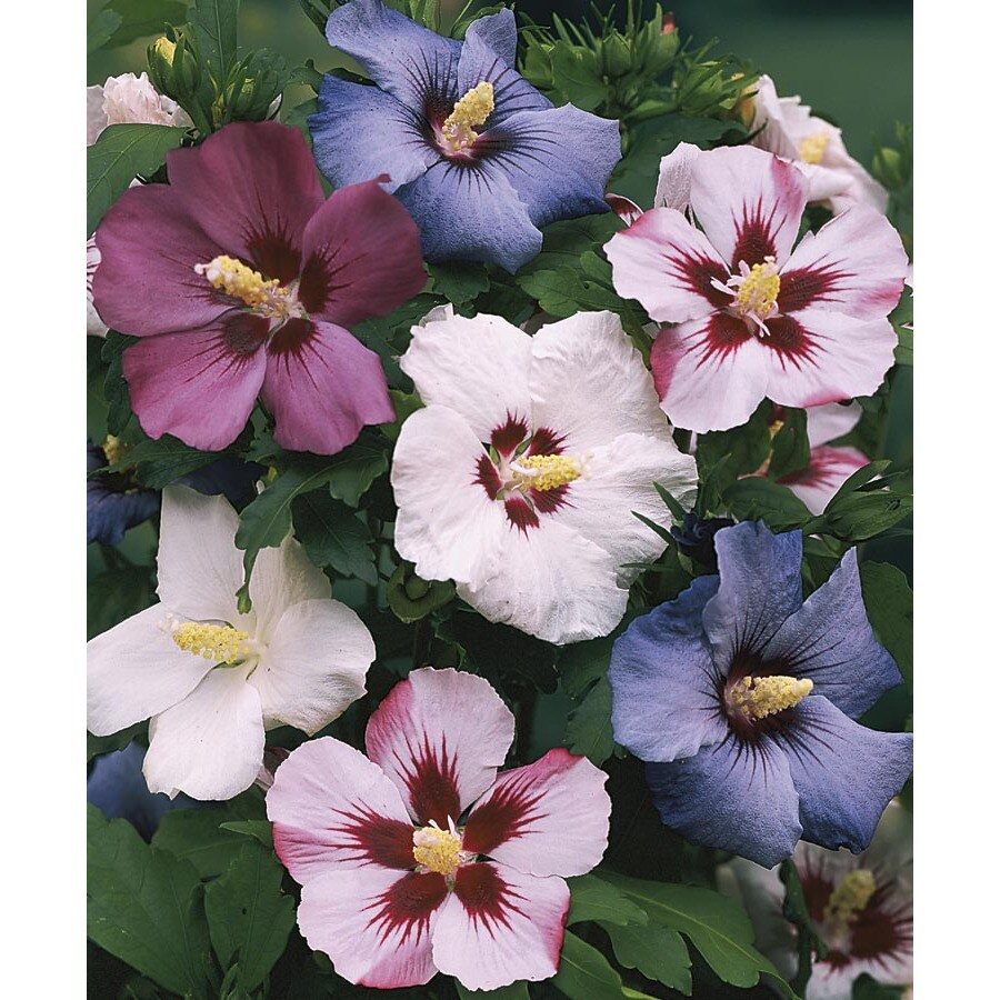 5-Gallon Multicolor Rose Of Sharon Flowering Shrub (L1203)