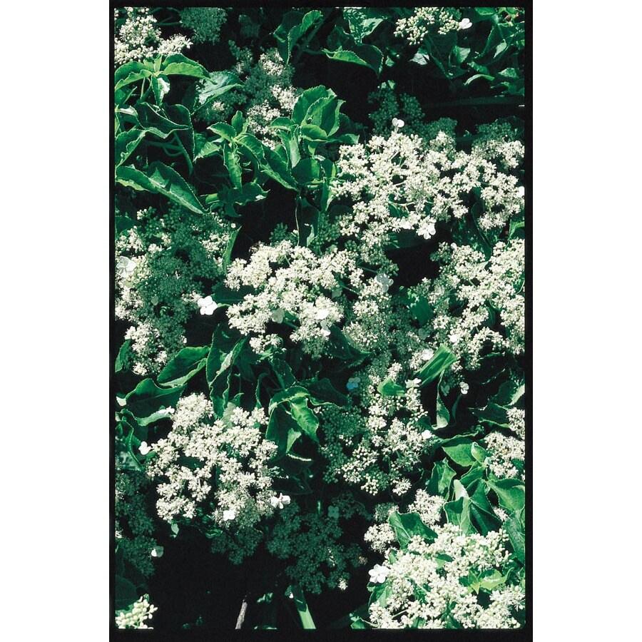 3.25-Gallon Climbing Hydrangea (L4722)