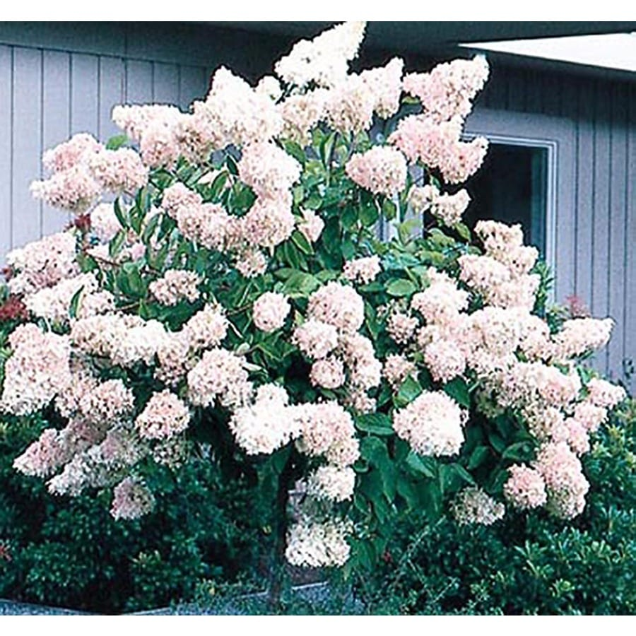 2-Gallon White Peegee Hydrangea Flowering Shrub (L3513)