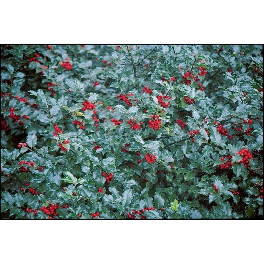 2-Gallon White Blue Maid Holly Foundation/Hedge Shrub (L14377)