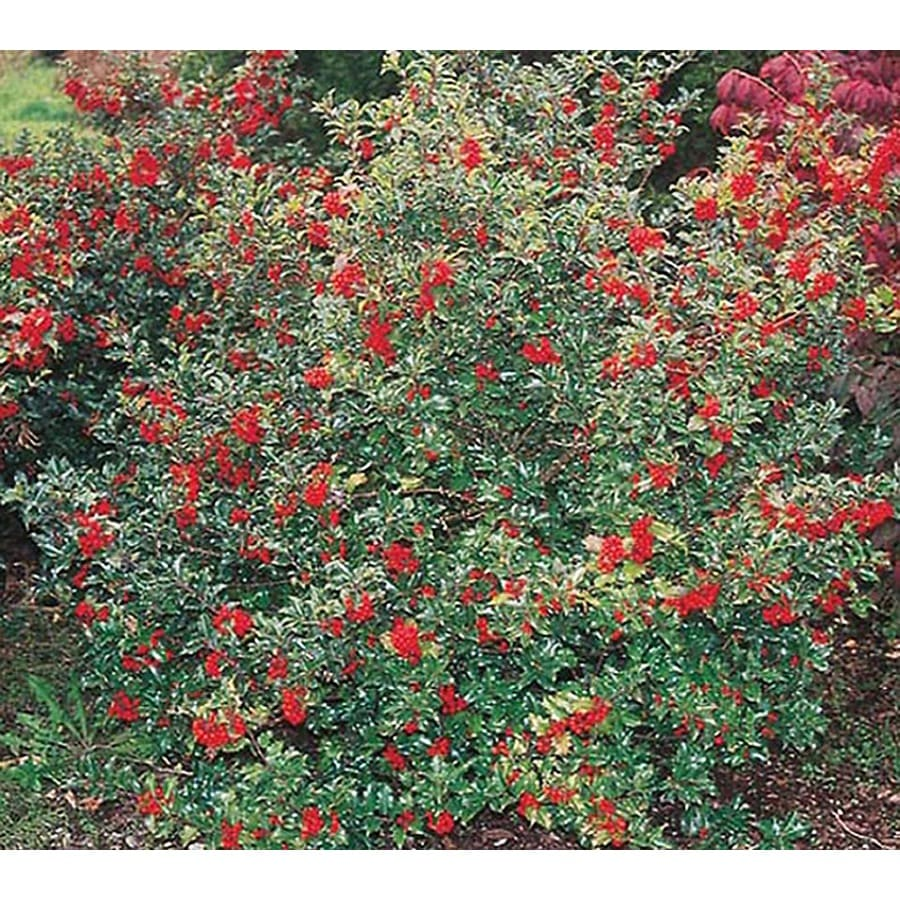 2.25-Gallon Blue Princess Holly Foundation/Hedge Shrub (L4501)