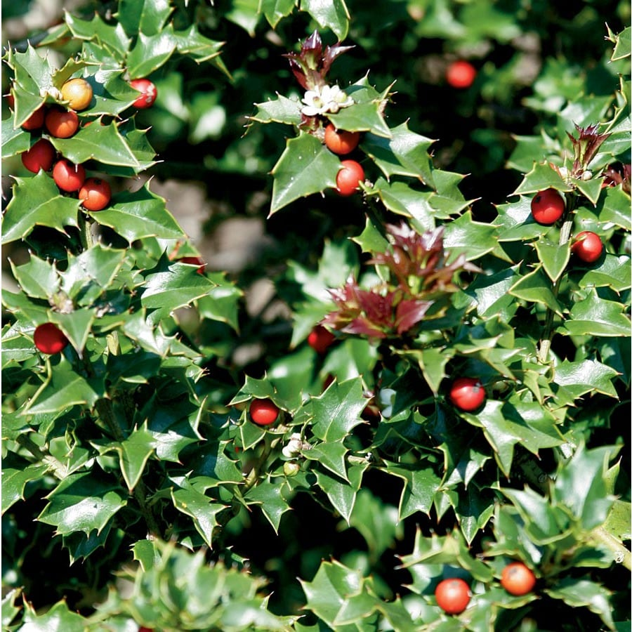 2-Quart White Red Beauty Holly Feature Shrub (Lw02131)