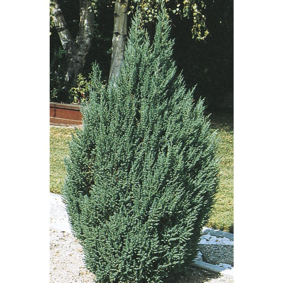 2.5-Quart Blue Point Juniper Feature Shrub (L3785)