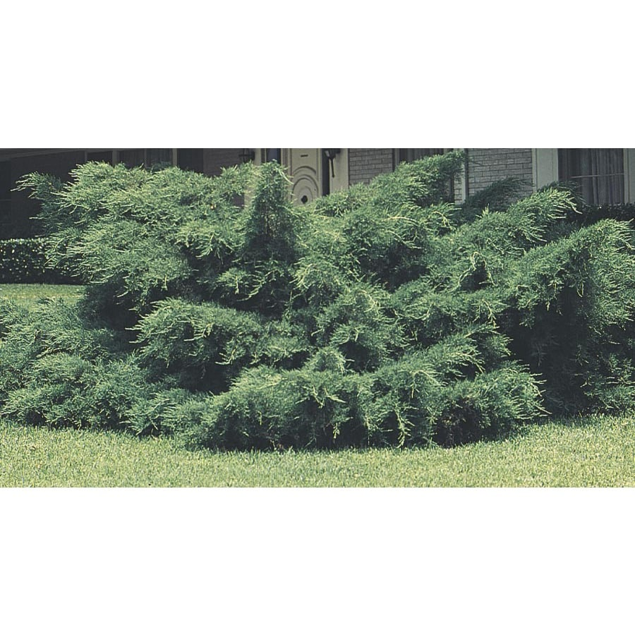 3-Gallon Pfitzer Juniper Feature Shrub (L5288)