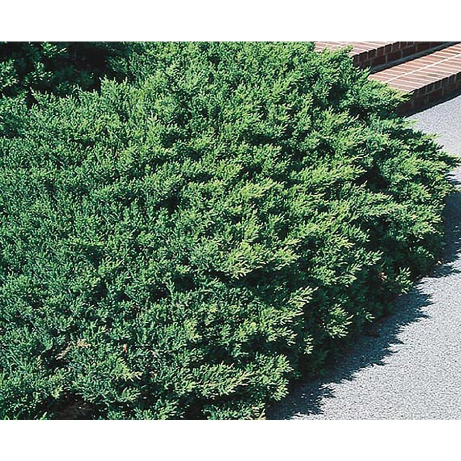 2-Gallon San Jose Juniper Accent Shrub (L8271)