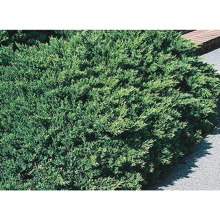 3-Gallon San Jose Juniper Accent Shrub (L8271)