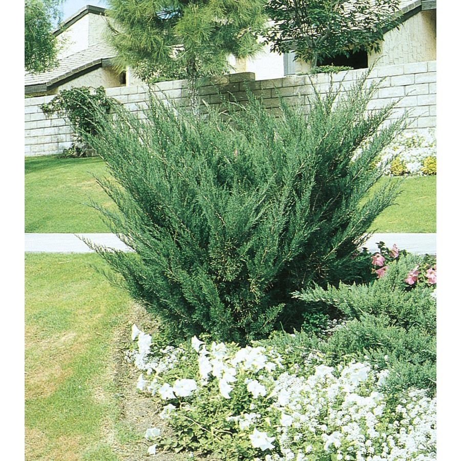 Shop 2 5 Quart Sea Green Juniper Accent Shrub L3045 At