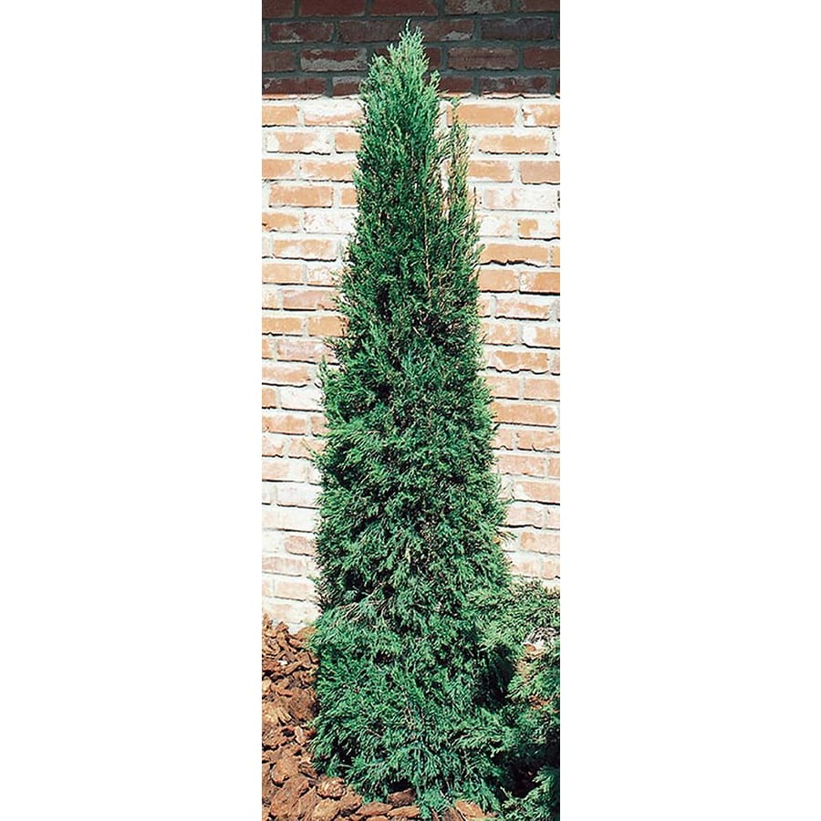 3-Gallon Spartan Juniper Feature Shrub (L4735)