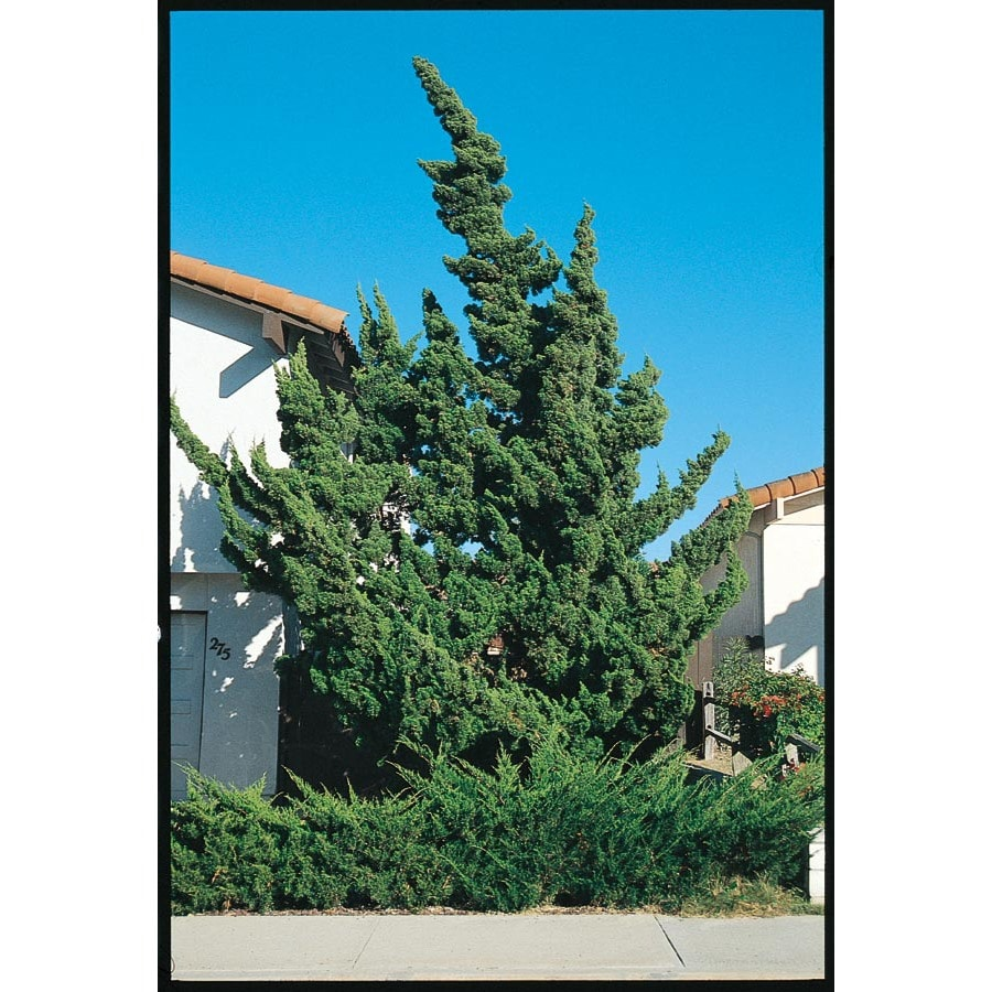 3.25-Gallon Hollywood Twisted Juniper Screening Shrub (L9413)