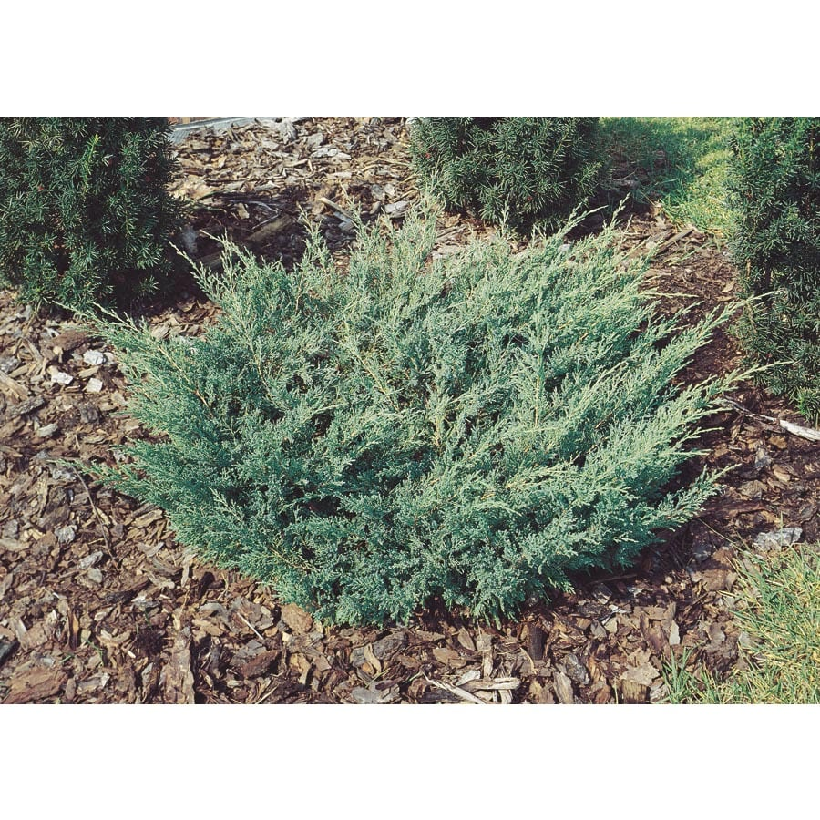 1-Gallon Compact Andorra Juniper Accent Shrub (L7432)