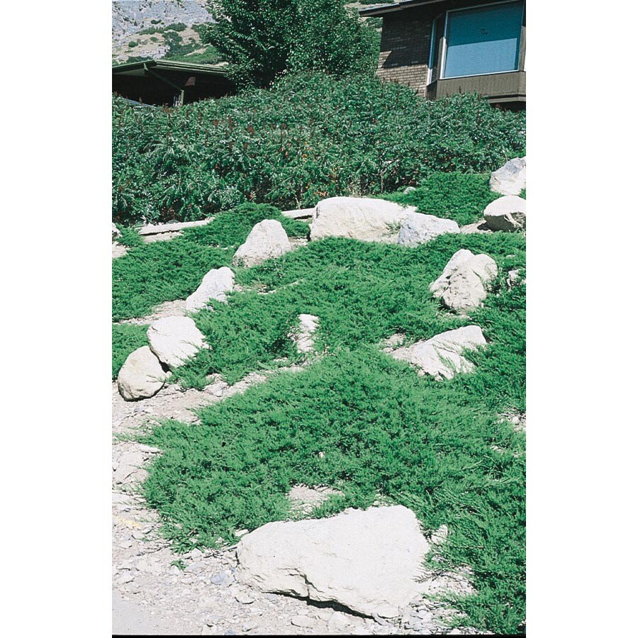1-Gallon Broadmoor Juniper Accent Shrub (L3932)