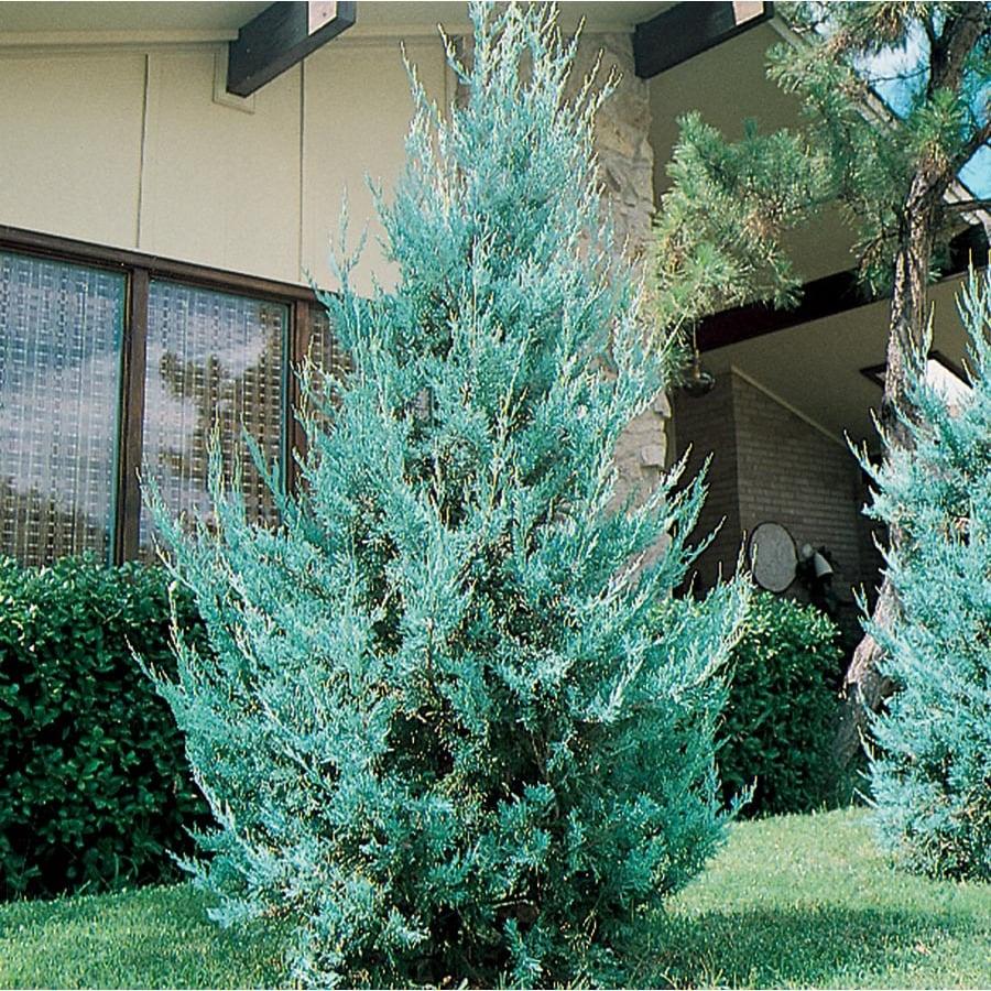 2-Quart Wichita Blue Juniper Feature Shrub (L3789)