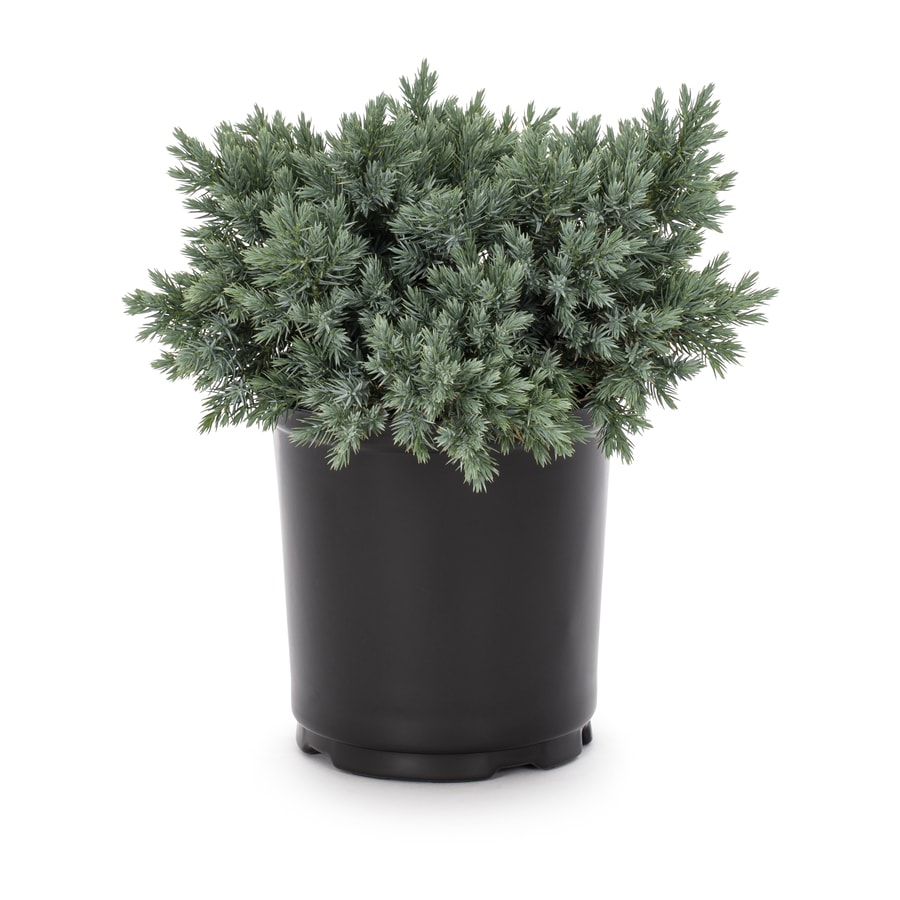 Shop 2-Quart Blue Star Juniper Accent Shrub (L4737) at Lowes.com