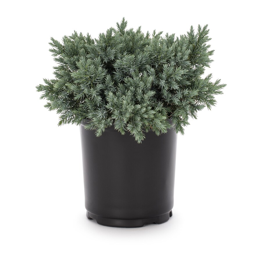 2-Gallon Blue Star Juniper Accent Shrub (L4737)