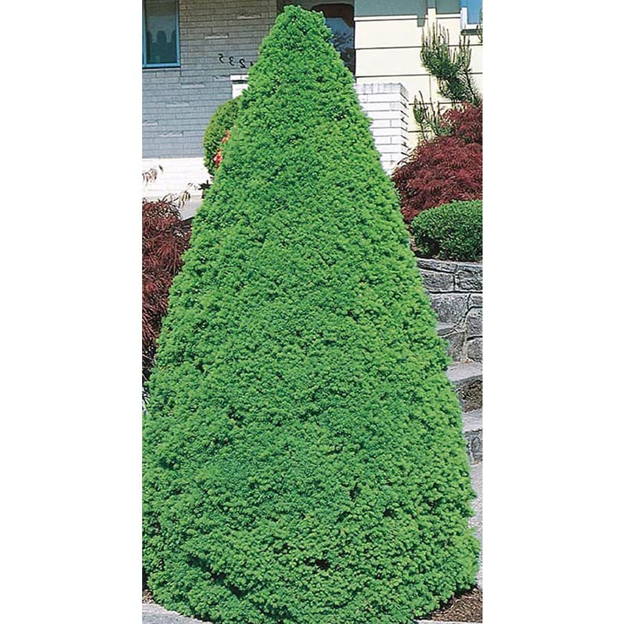 5-Gallon Dwarf Alberta Spruce Feature Shrub (L8449)