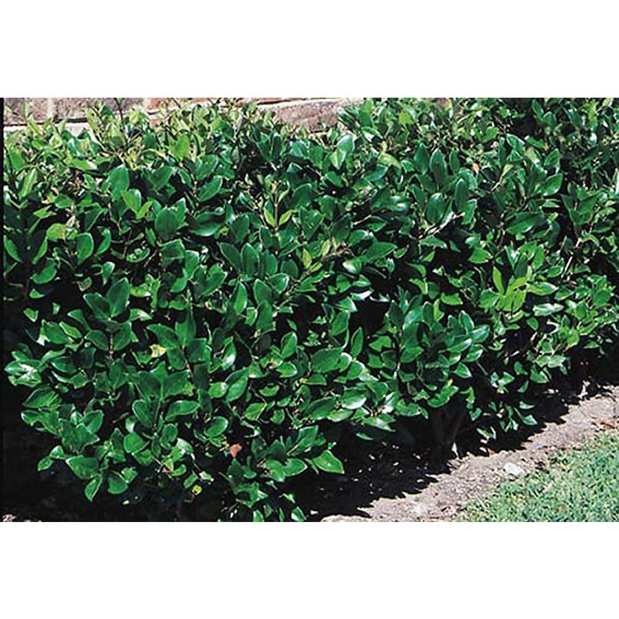 2-Quart White Waxleaf Ligustrum Foundation/Hedge Shrub (L3255)
