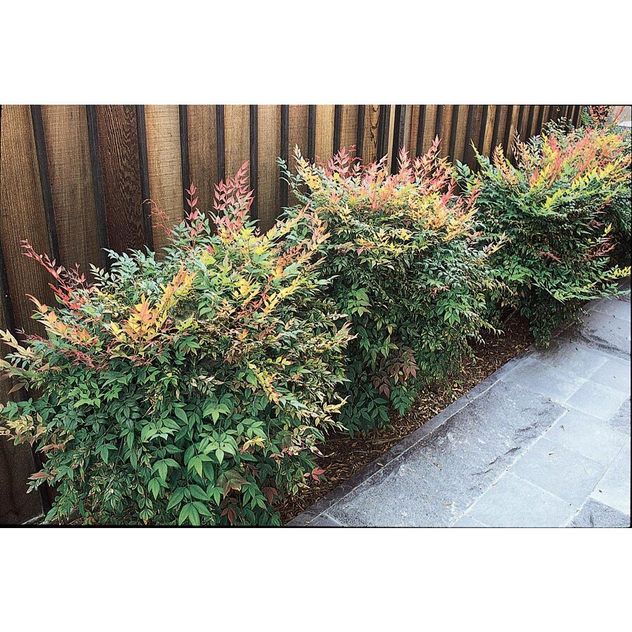 1.5-Gallon White Gulf Stream Nandina Accent Shrub (L9620)