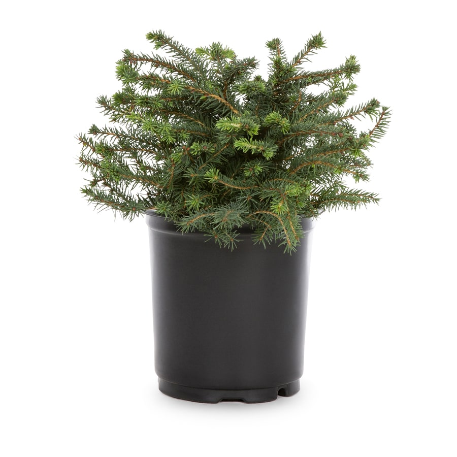 2-Quart Bird's Nest Spruce Accent Shrub (L3936)