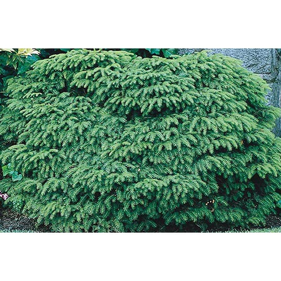 1-Gallon Bird's Nest Spruce Accent Shrub (L3936)