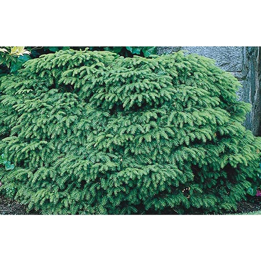 2-Gallon Bird's Nest Spruce Accent Shrub (L3936)