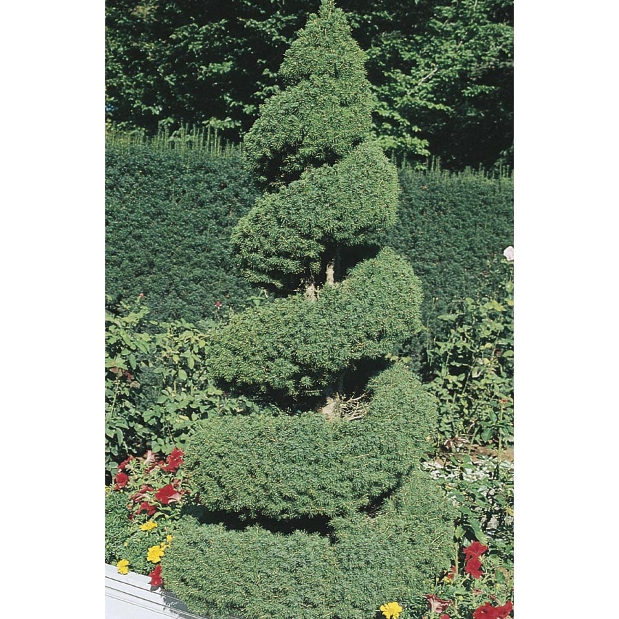 2.25-Gallon Spiral Dwarf Alberta Spruce Feature Tree (L7230)