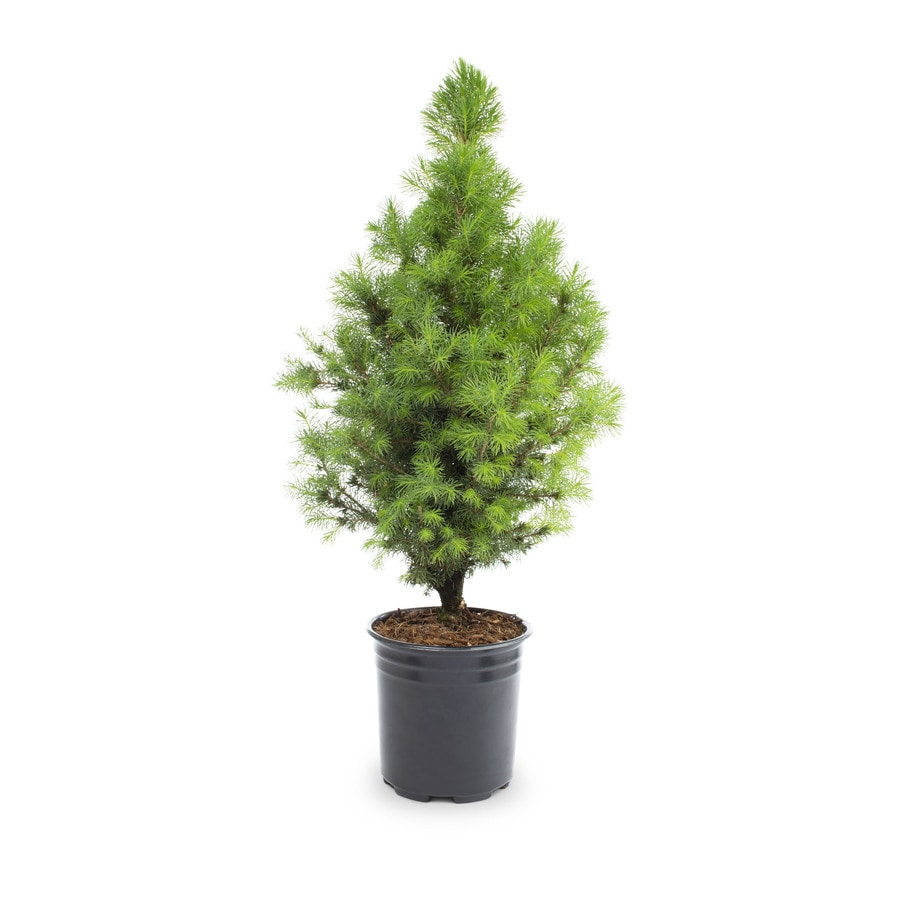 2.5-Quart Dwarf Alberta Spruce Feature Shrub (L8449)