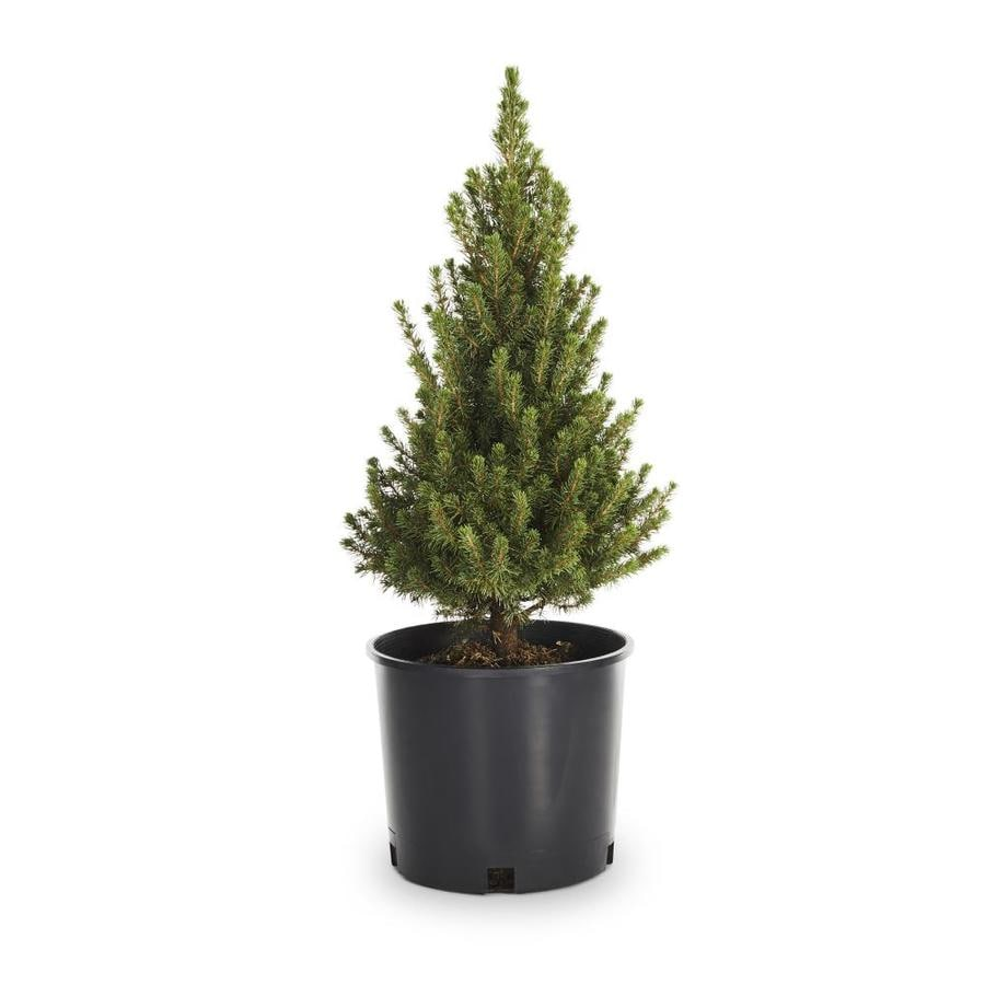 Shop 2-Gallon Dwarf Alberta Spruce Feature Shrub (L8449) at Lowes.com