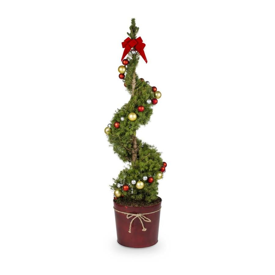 3.25-Gallon Spiral Dwarf Alberta Spruce Feature Tree (L7230)