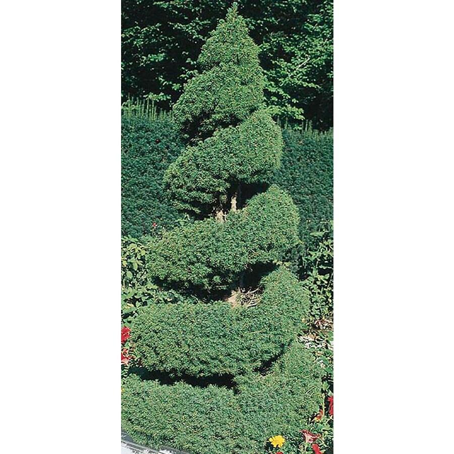 5.5-Gallon Spiral Dwarf Alberta Spruce Feature Tree (L7230)