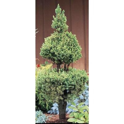 225 Gallon Poodle Dwarf Alberta Spruce Feature Tree L2796